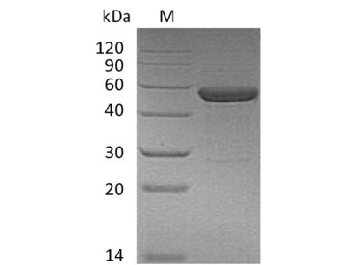 Recombinant Human Interleukin-15 & Interleukin-15 receptor subunit alpha(IL15 & IL15RA) (Active) (Mammalian cell)