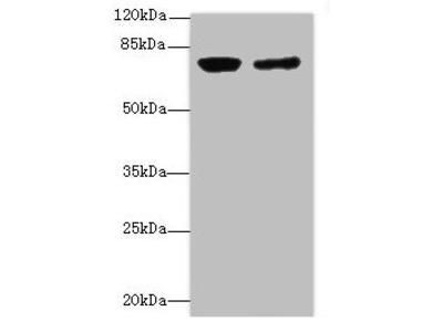 LSS Antibody
