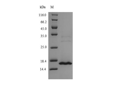 Recombinant Human MORF4 family-associated protein 1-like 1(MRFAP1L1) (Yeast)