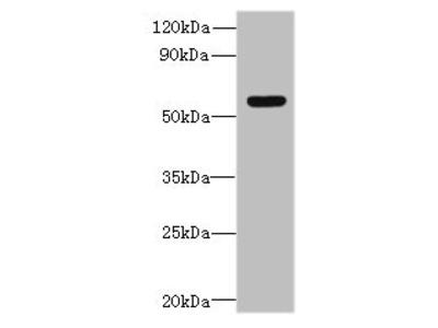 SLC35F5 Antibody