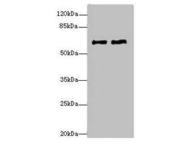 COL9A3 Antibody