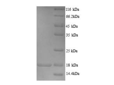 Recombinant Human Store-opeRated calcium entry-associated regulatory factor(SARAF),partial