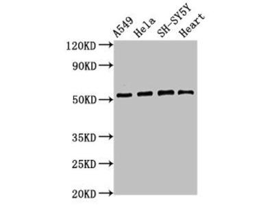 ATG4D Antibody