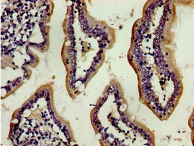 ENPEP Antibody