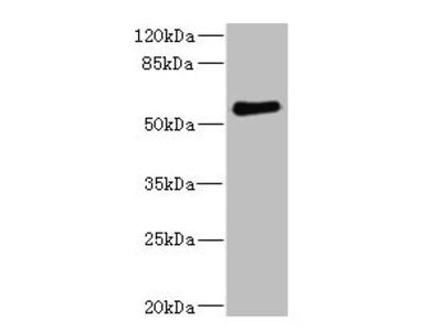 FCRL2 Antibody