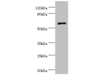 COL10A1 Antibody