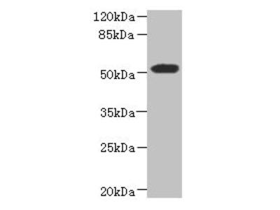 ASPSCR1 Antibody