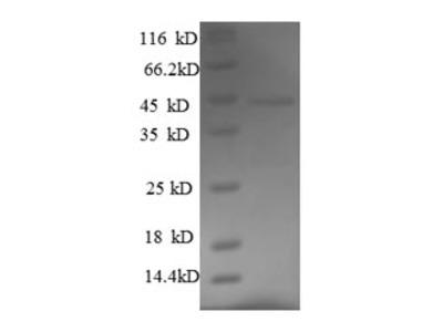 Recombinant Mouse Fas apoptotic inhibitory molecule 3(Faim3) ,partial (E.coli)