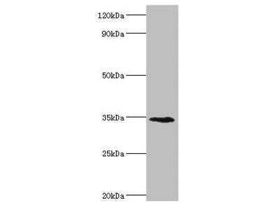 LYVE1 Antibody