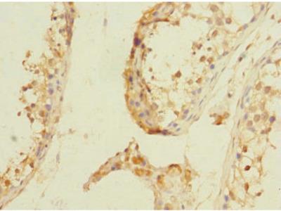 NPM2 Antibody