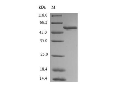Recombinant Human Homeobox protein MOX-1(MEOX1) (E.coli)