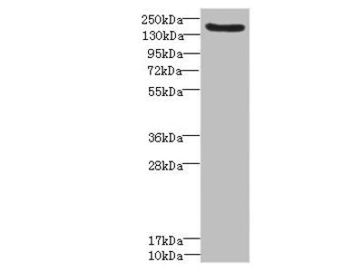 LY75 Antibody
