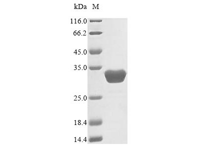 Recombinant Human Sepiapterin reductase(SPR)