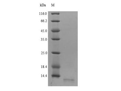 Recombinant Human C-C motif chemokine 18(CCL18)  (Yeast)