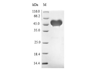 Recombinant Mouse Protein jagged-1(Jag1),partial (E.coli)