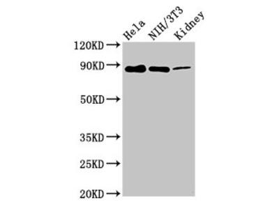 PTPN12 Antibody