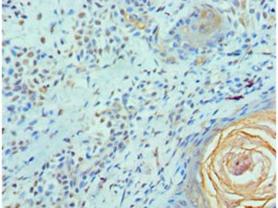 ELF4 Antibody