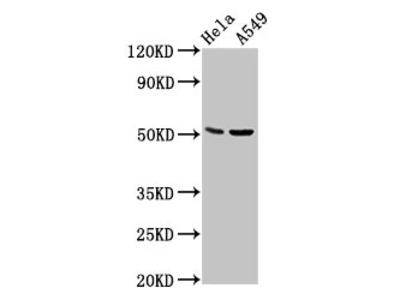 CHRDL1 Antibody