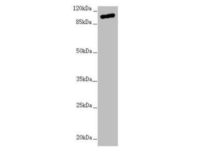 TTLL7 Antibody