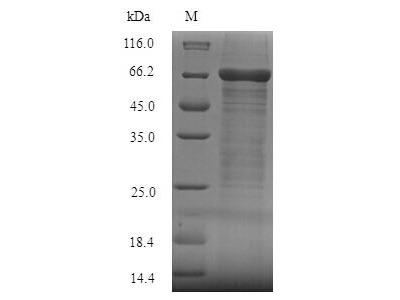 Recombinant Human Fc receptor-like protein 4(FCRL4),partial (E.coli)