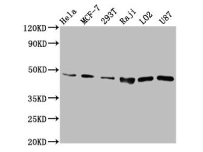 SUCLG2 Antibody