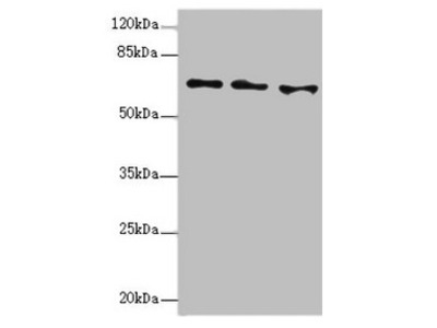 EYA3 Antibody
