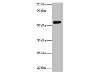 SUOX Antibody