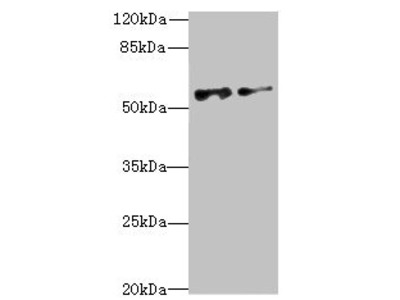 NEK3 Antibody