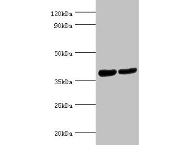 ATP6AP2 Antibody