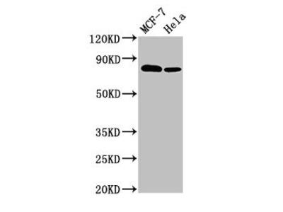 BCAR1 Antibody