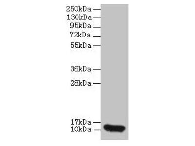 CXCL8 Antibody