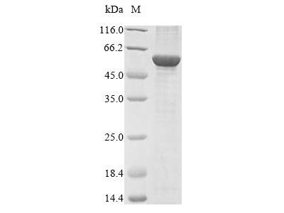 Recombinant Bovine NADPH:adrenodoxin oxidoreductase, mitochondrial(FDXR) (E.coli)