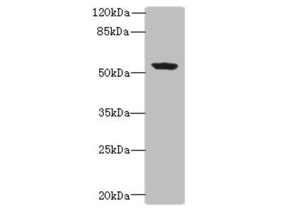 PLEKHA8 Antibody