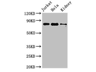 NOA1 Antibody