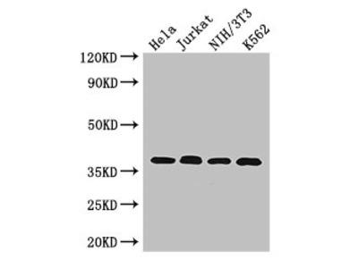 RAD51 Antibody