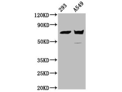 PLS1 Antibody
