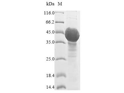 Recombinant Arabidopsis thaliana UDP-glycosyltransferase 89C1(UGT89C1) (Yeast)