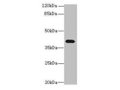 PTAFR Antibody