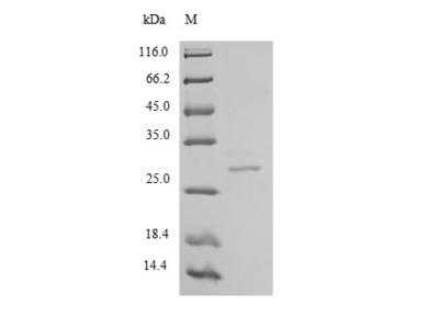 Recombinant Human Chymotrypsin-like elastase family member 2A(CELA2A) (E.coli)