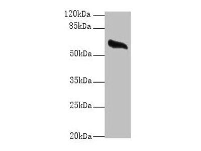 GPC4 Antibody