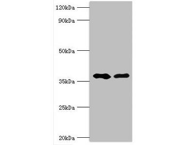 AUH Antibody