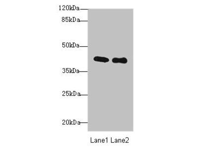 P2RY13 Antibody