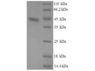Recombinant Dog Serum amyloid A protein(SAA1) (E.coli)