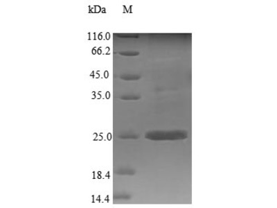 Recombinant Mouse Stromal cell-derived factor 2(Sdf2)