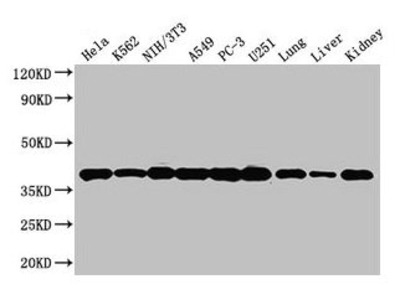 ANXA2 Antibody