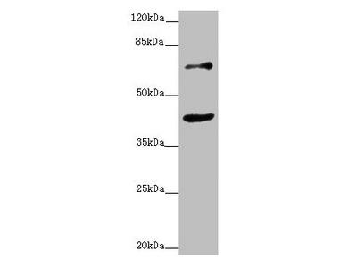 ZNF20 Antibody