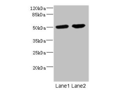 CHRNA10 Antibody