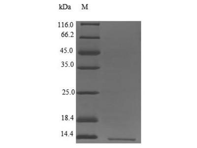 Recombinant Human Leukocyte-specific transcript 1 protein(LST1)