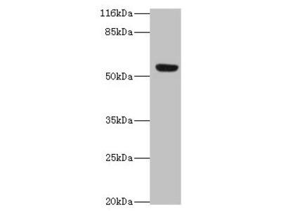 LILRA2 Antibody