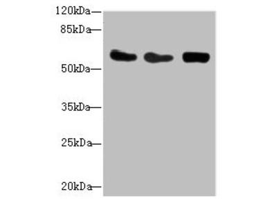 CSRNP2 Antibody